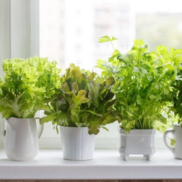 Small bowls of greens growing